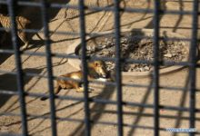 """Photo of تقرير: الجوع والمرض يفتكان بـ الأسود في حديقة حيوانات """"صنعاء"""""""