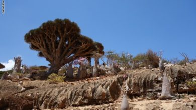 Photo of شجرة دم الأخوين باليمن..أحد أغرب الأشجار الموجودة على الأرض
