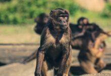 """Photo of استفتاء """"تاريخي"""" في سويسرا قد يمنح القردة """"حقوقا أساسية"""" كالبشر"""