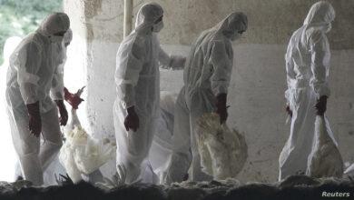 Photo of إنفلونزا الطيور يظهر مجددا في مزرعة بريطانية للدجاج الرومي