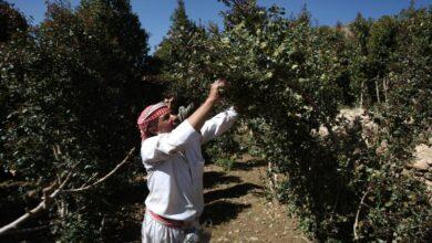 Photo of صحيفة: زراعة القات تهدّد محاصيل البقوليات